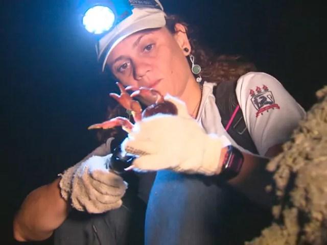 Pesquisadores estudam o caranguejo amarelo, espécie em extinção  (Foto: Globo)