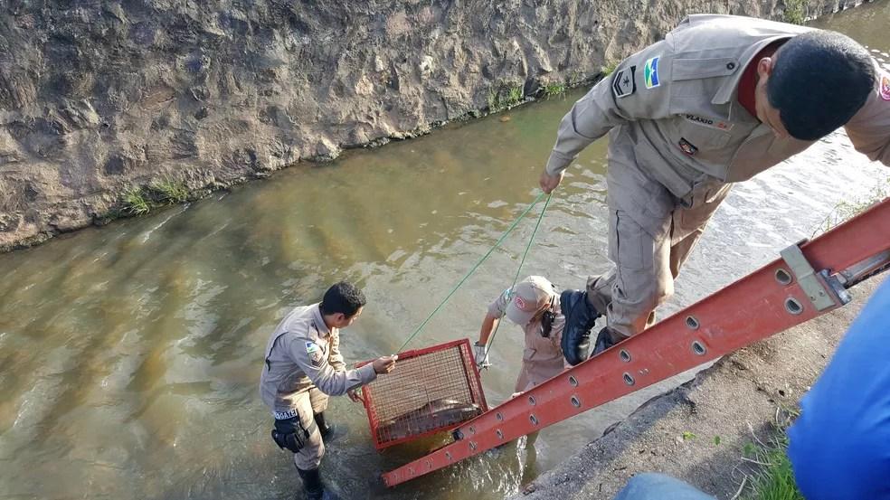 Bombeiros entram em igarapé para resgatar animal (Foto: Marco Bernardi/G1)