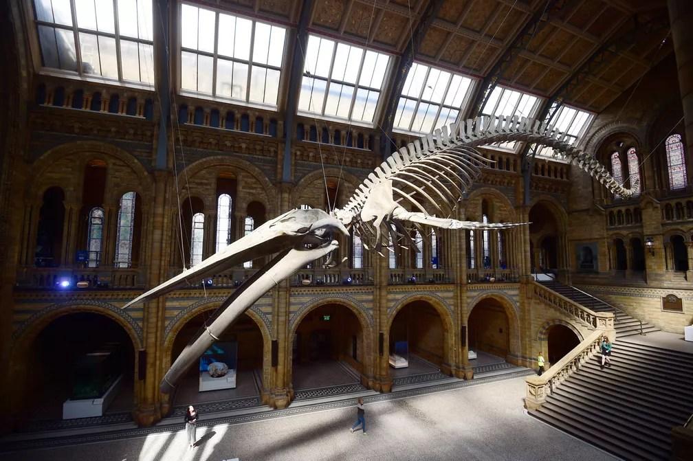 13 de julho - O esqueleto de uma baleia azul gigante é visto no Museu de História Natural de Londres, na Inglaterra (Foto: Hannah McKay/Reuters)