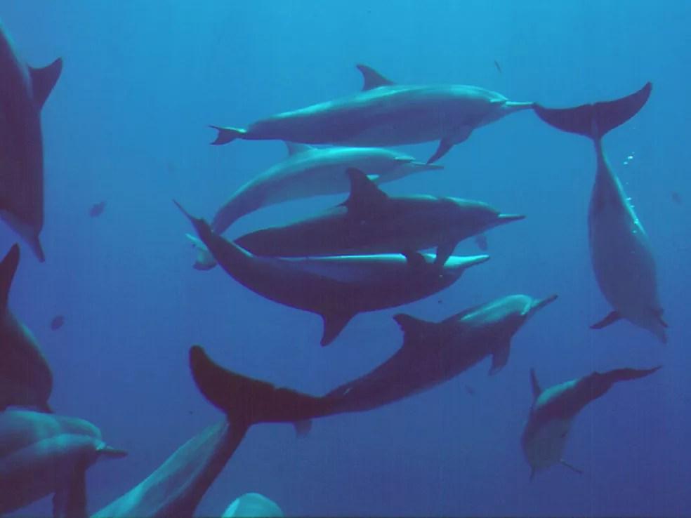 O ato sexual dos golfinhos é realizado em grupo  — Foto: Projeto Golfinho Rotador/Divulgação