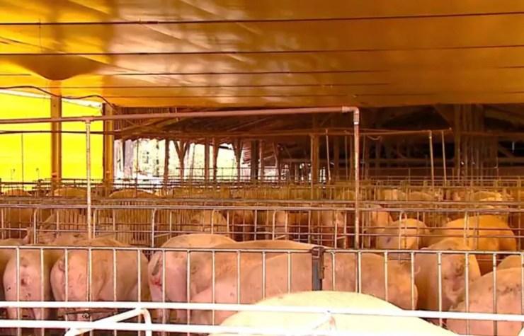 Exportação da carne suína sofre os impactos do embargo russo (Foto: Reprodução/RBS TV)