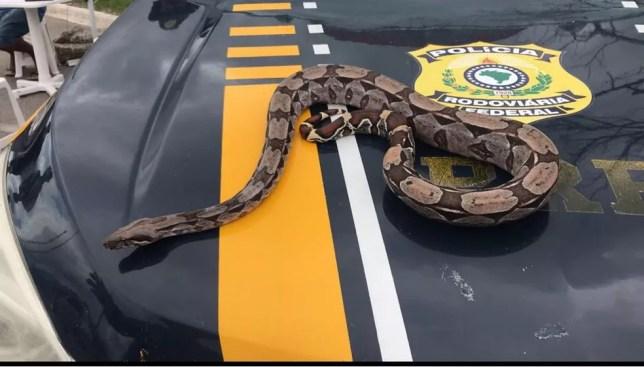 Cobra é encontrada na BR-104 em Caruaru (Foto: Polícia Rodoviária Federal/Divulgação)