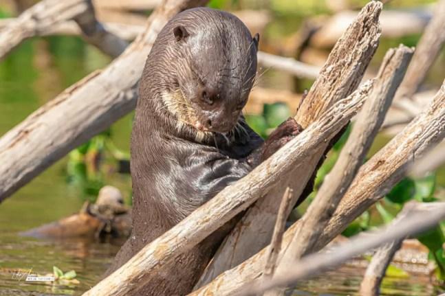 Guia de turismo consegue fotografar ariranha no Pantanal de MS — Foto: Edir Alves/Foto