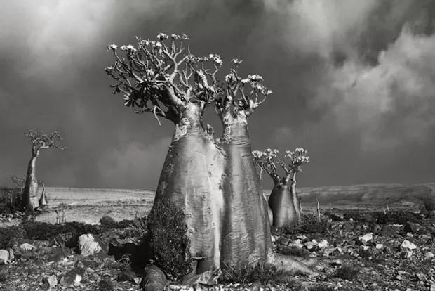 Árvores centenárias (Foto: Beth Moon/Divulgação)