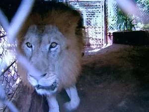 Leão de 9 anos foi furtado em Monte Azul Paulista, diz proprietário (Foto: Sérgio Oliveira/EPTV)