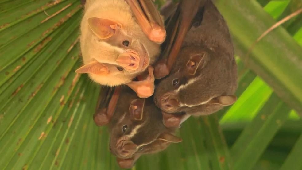 """Muitos acham que o morcego é um """"rato com asas"""": espécies têm má fama provocada pela desinformação — Foto: Vanderlei Duarte/ Terra da Gente"""