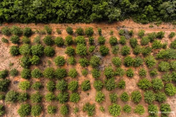 Área plantada com pequi em terra indígena — Foto: Fábio Nascimento/ISA