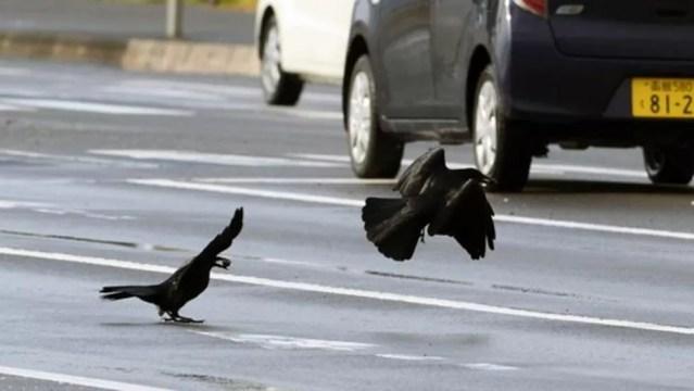 Os corvos de Sendai, no Japão, aprenderam a colocar nozes em frente aos carros para que os pneus quebrem as cascas — Foto: OSAMU MIKAMI