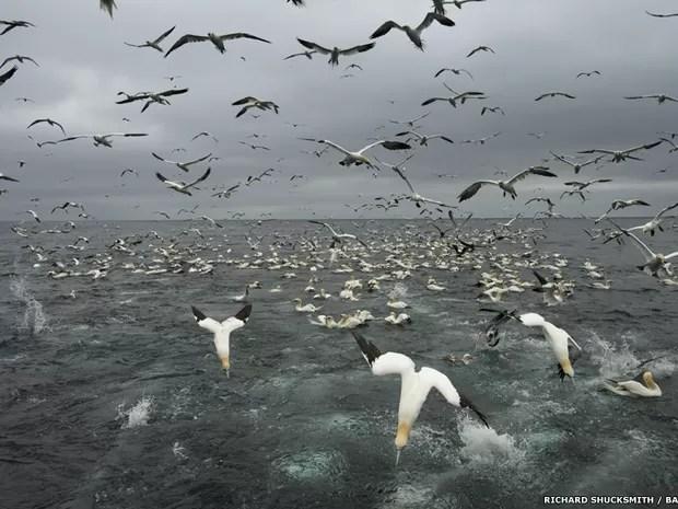 Fotos de Richard Shucksmith mostram gansos-patola caçando peixes no mar da Escócia (Foto: Richard Shucksmith/BBC)
