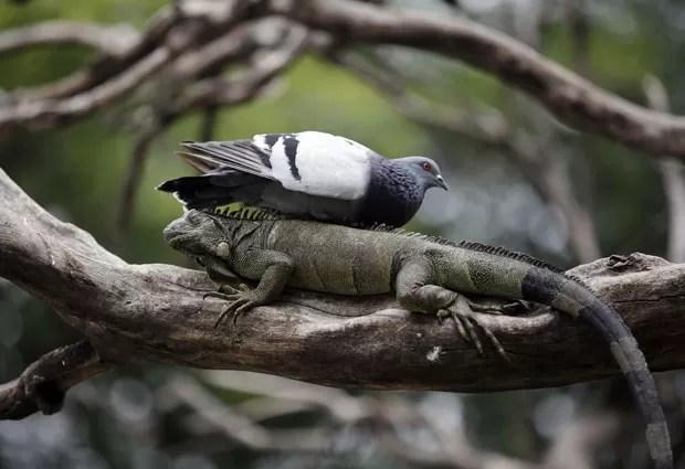 Um pombo 'folgado' foi flagrado descansando na última quinta-feira (3) nas costas de um iguana em uma árvore no parque Seminario, em Guayaquil, no Equador (Foto: Dolores Ochoa/AP)