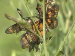 Insetos são agentes de polinização tão importantes quanto as abelhas. Uma borboleta adulta vive em torno de dez dias (Foto: Thiago Zenker/RBSTV)