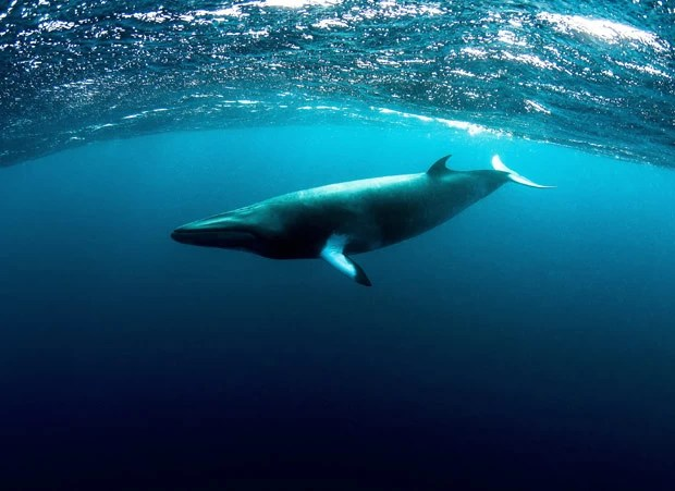 Objetivo da pesquisa é descobrir para onde baleias vão no verão. (Foto: AFP Photo/Minke Whale Project/Matt Curnock)