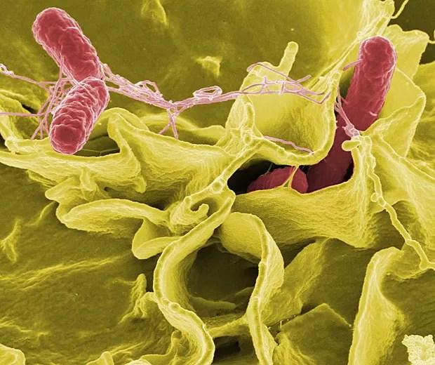 Imagem de microscópio eletrônico mostra salmonela (vermelho) invadindo células humanas (Foto: NIH)