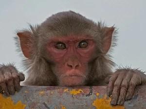 Os macacos-rhesus são originários do sul da Ásia - o da foto foi fotografado na Índia. (Foto: J.M.Garg / Creative Commons)