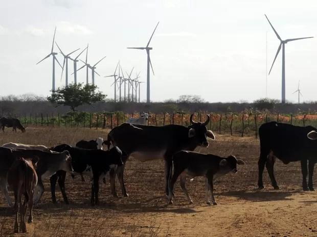Animais andam próximos a torres em propriedade na zona rural de João Câmara (Foto: Felipe Gibson/G1)