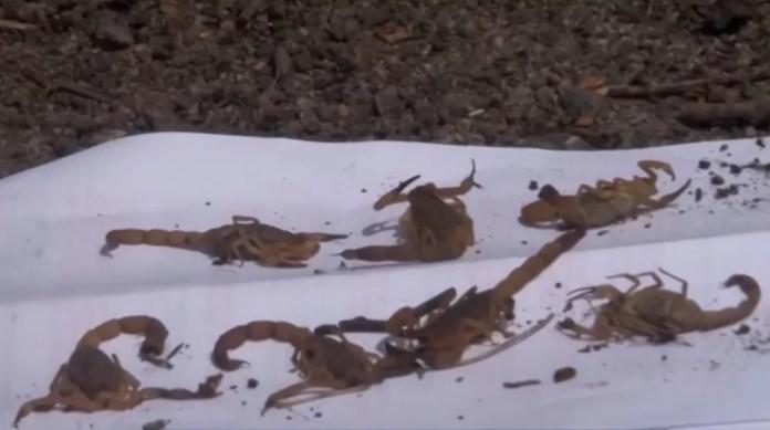 Eunápolis tem 176 casos de ataques de escorpiões no ano 2