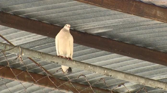 Muitos pombos podem ser vistos na escola em Piúma — Foto: Reprodução/TV Gazeta