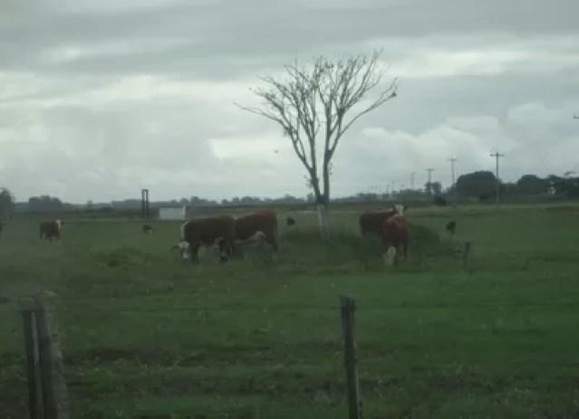 fazenda-arambare-gado (Foto: Raphael Salomão/Ed. Globo)