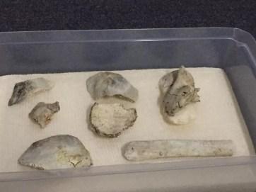 Partes do crânio do fóssil foram apresentadas pelo Museu Nacional nesta sexta-feira — Foto: Patrícia Teixeira/G1