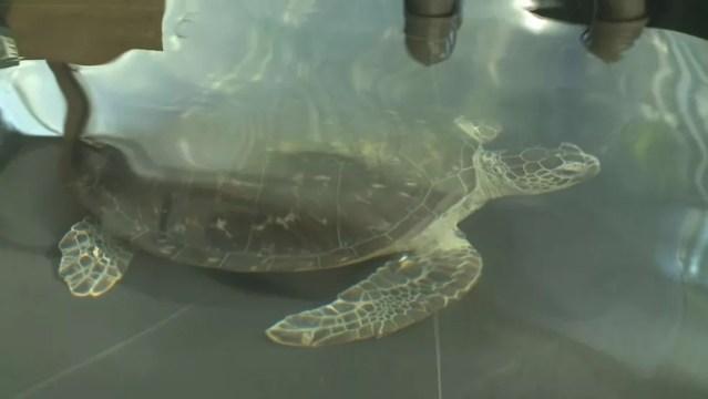 Tartarugas são tratadas para que voltem ao oceano o mais breve possível (Foto: Reprodução/TV Tribuna)