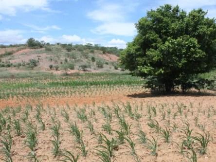Agricultores estão perdendo plantação por falta de chuva (Foto: Taisa Alencar / G1)