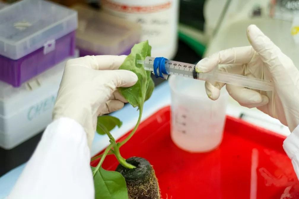 Planta é infectada com vírus para produzir alto rendimento de componentes da proteína da vacina em suas folhas (Foto: Jason Drees, Biodesign Institute, Arizona State University)