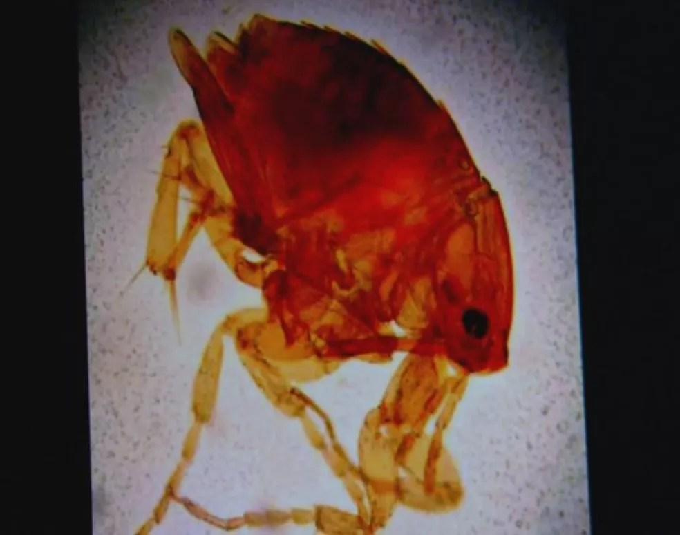 Tunga penetrans causa a coceira nos moradores (Foto: Reprodução/EPTV)