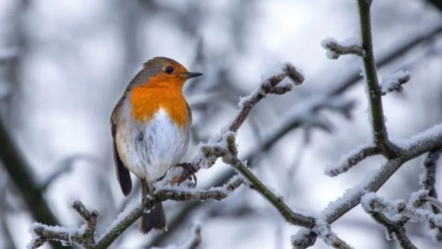 Os cientistas dizem que as descobertas são provavelmente relevantes para uma variedade de espécies de pássaros — Foto: Victoria Gill via BBC