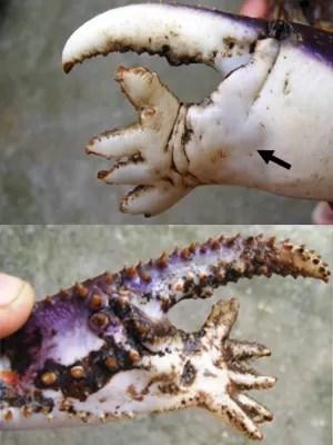 Exemplar com má formação foi encontrado em São Vicente (Foto: Divulgação/CRUSTA)