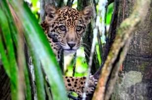 Exemplar de onça-pintada foi visto com filhote (foto) sobrevivendo entre as árvores. Animais se alimentam de macacos e preguiças (Foto: Divulgação/Instituto Mamirauá)
