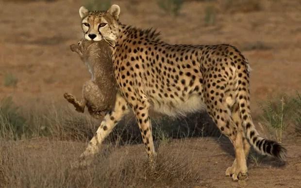 Animal segura a sua presa após ter sucesso na caçada (Foto: Vahid Salemi/AP)