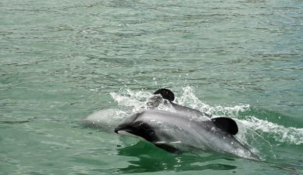 Exemplar de golfinho-de-Maui, espécie encontrada apenas em determinada região da Nova Zelândia e que está ameaçada de extinção (Foto: Departamento de Conservação/AFP)