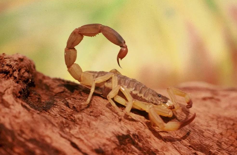 Escorpião amarelo (Foto: CBN)