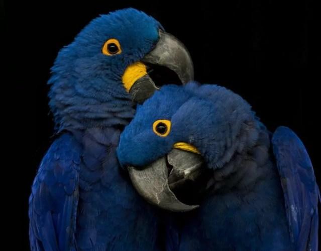 Algumas araras e papagaios usam argila para tratar dores de estômago; a argila se liga às toxinas e as remove do corpo — Foto: Getty Images via BBC