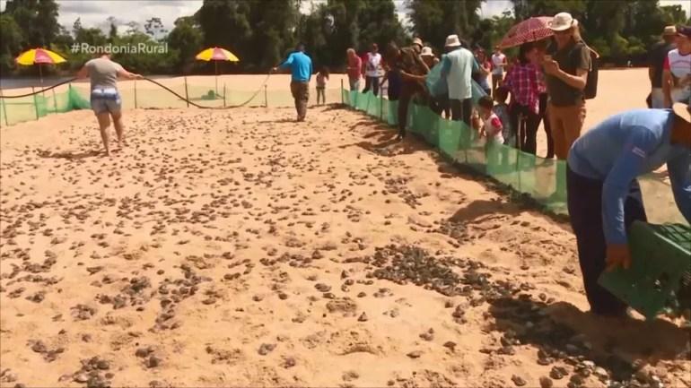 Tartarugas ficarão 20 dias em cativeiro no Rio Guaporé — Foto: Rede Amazônica/Reprodução