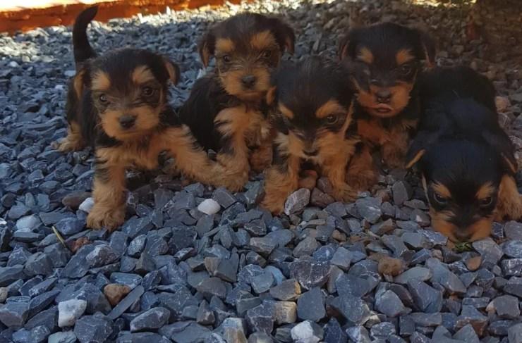 Ladrão furtou 10 filhotes de canil avaliados em R$ 20 mil em Cuiabá (Foto: Divulgação)