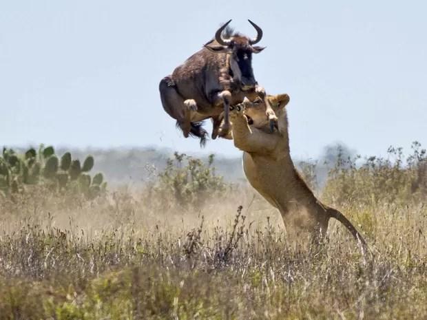 Gnu salta a uma altura de 2 metros tentando evitar o ataque de uma leoa faminta na reserva de Kariega, na África do Sul. A cena impressionante ocorreu em frente a encarregados de caça da reserva, que viram o gnu fugir após o pulo diante do perigo. (Foto: Jacques Matthysen/Caters News/The Grosby Group)