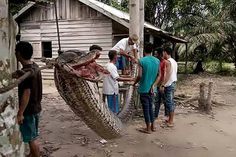 Foto mostra serpente de 7,8 metros morta após ataque a homem (Foto: Handout / BATANG GANSAL POLICE / AFP)