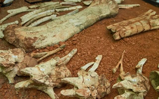 Fóssil do 'Arrudatitan maximus', que viveu no período Cretáceo, foi encontrado em Cândido Rodrigues (SP) em 1997 — Foto: Érico Andrade/G1