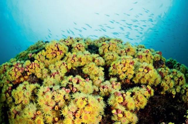 O coral-sol libera uma substância que inibe a presença de outras espécies ou as queima com um tentáculo (Foto: Leo Francini)
