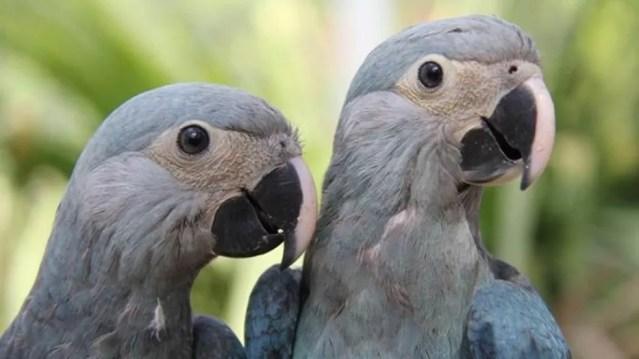 Refúgios estão sendo criados no Brasil para, no futuro, receberem ararinhas-azuis (Foto: ACTP)