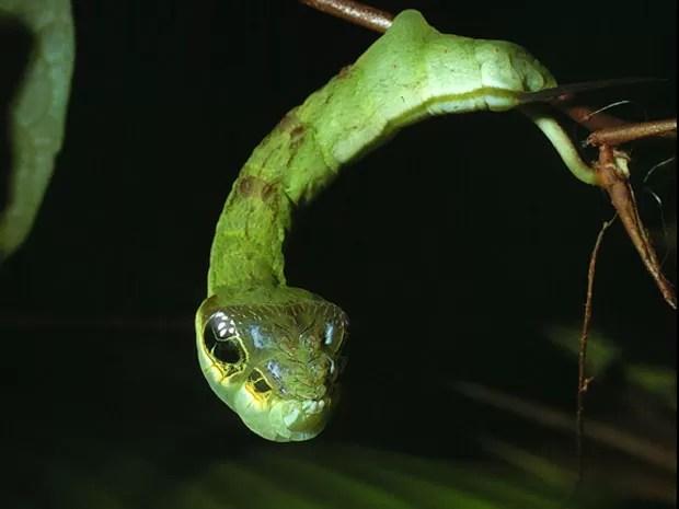 Apesar de parecer uma cobra, seu corpo curto causa estranhamento. O professor Daniel Janzen, da Universidade da Pensilvânia, capturou essas imagens como parte de seu trabalho sobre lagartas na América Central (Foto: Daniel Janzen/Caters)