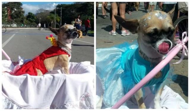 Cachorrinha da raça chihuahua Marie em 2017 (vermelho) e em 2016 (azul) (Foto: TV Rio Sul)