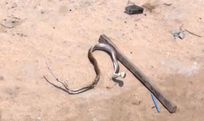 Para os bombeiros, aparecimento das cobras é causado por danos ambientais — Foto: Reprodução/TV Santa Cruz
