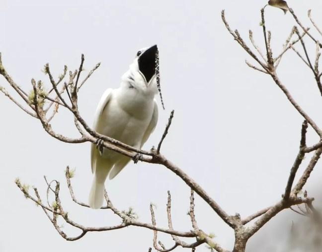 Araponga-da-Amazônia entrou para o Guiness com o canto mais alto entre pássaros — Foto: Anselmo d'Affonseca