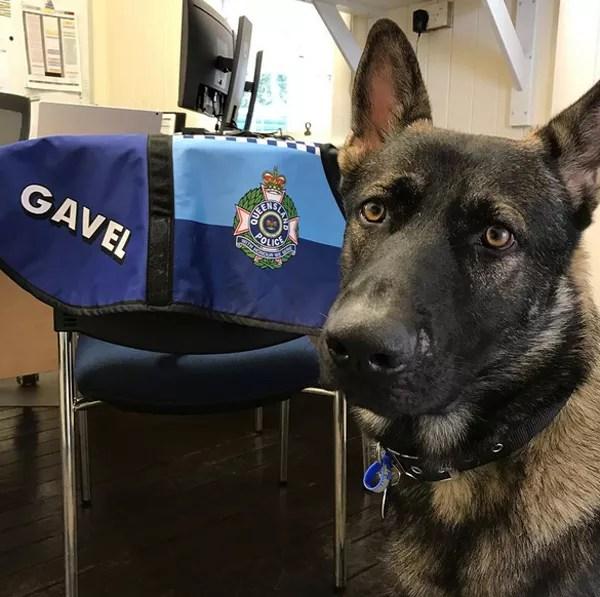 O cãozinho Gavel foi reprovado para trabalhar na polícia por ser muito amável (Foto: Reprodução / Instagram)