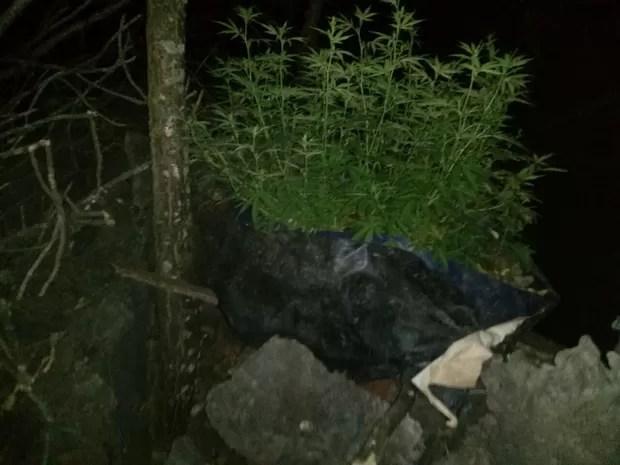 Pés de maconha foram encontrados no quintal de uma casa em Aurora do Tocantins (Foto: Divulgação/PM-TO)