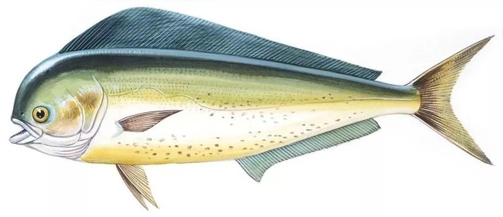 Os dourados-do-mar também são conhecidos como mahi-mahi: 'além de prover minha alimentação, me faziam companhia' — Foto: De Agostini Picture Library/BBC