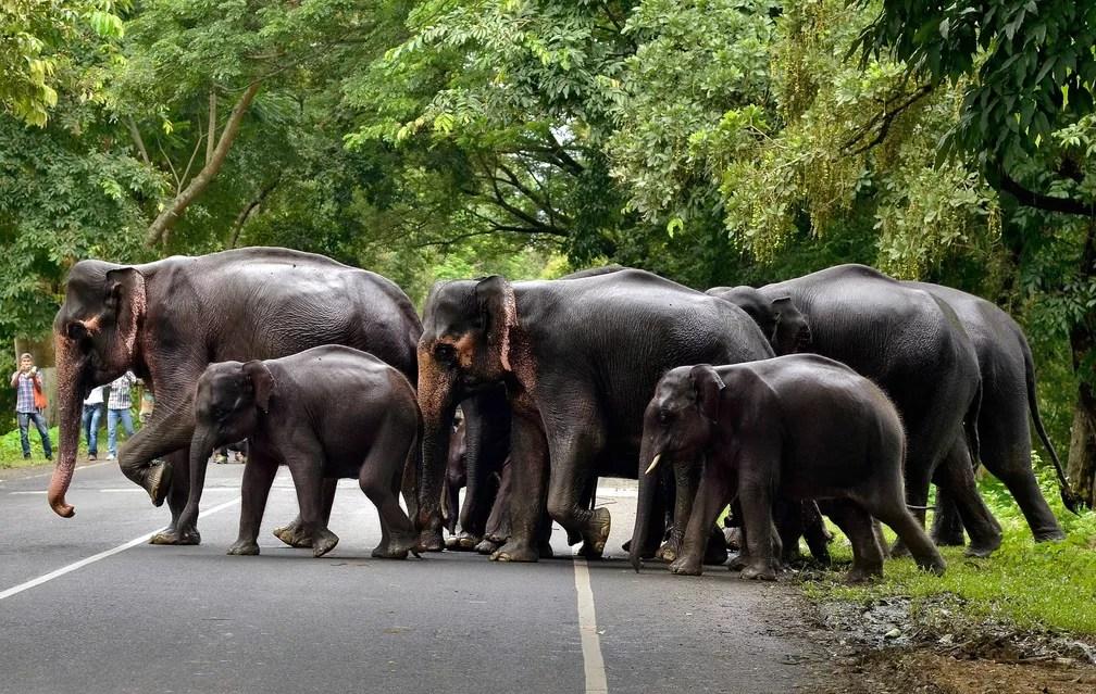12 de julho - Uma manada de elefantes atravessa uma rua que passa pelo Parque Nacional Kaziranga, na Índia. O local foi afetado por inundações resultantes das fortes chuvas nessa época do ano no país (Foto: Anuwar Hazarika/Reuters)