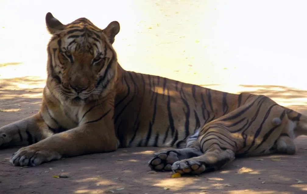 Tigre é fotografado em zoológico venezuelano (Foto: Monica Guevara/Panorama/AFP )